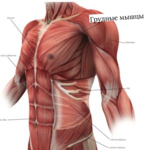 мышцы, которые передавливаются ранцем