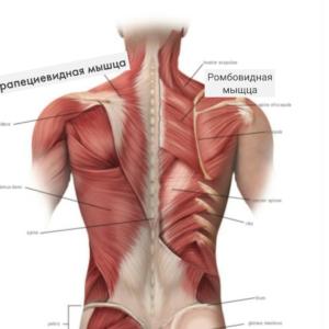 проблемные мышцы спины
